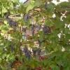 Як я прискорюю дозрівання винограду