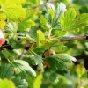 Як ефективно боротися з борошнистою росою на агрус?
