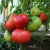 Як легко виростити рожевий томат «малиновка»? Опис сорту і догляд