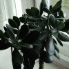 Як назавиются хризантеми?
