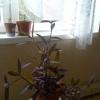 Як називається квітка схожий на традесканції з темно-бузковими листям. Цвіте як трилисник