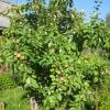 Як обрізати стару яблуню, якщо вона росте кущем?