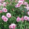 Як відрізнити квітка астру від хризантеми