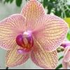 Як пересадити орхідею фаленопсис в домашніх умовах