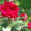 Як підготувати троянди до зимівлі