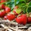 Як підготувати полуницю до зими?