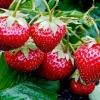 Як підгодовують полуницю дріжджами?