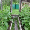 Як підв`язувати огірки: ідея для ледачих, але винахідливих городників