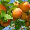 Як посадити абрикос і правильно доглядати за ним в холодному кліматі?