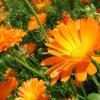 Як посадити календулу на дачі і доглядати за квіткою?