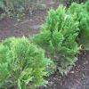 Як посадити кипарисовик лавсона елвуд і доглядати ним у відкритому грунті