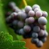 Як правильно підв`язувати виноград