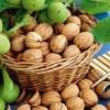 Як правильно посадити волоський горіх