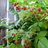 Як правильно посадити малину восени