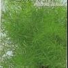 Як правильно посадити плазмові насіння аспарагуса шпренгера?
