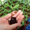 Як правильно провести пересадку розсади огірків? Особливості підготовки, пікірування і догляду за саджанцями після цієї процедури