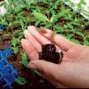 Як правильно проводити пікіровку розсади баклажанів? Чи потрібна вона взагалі і коли її проводять? Маленькі нюанси процедури для міцних саджанців