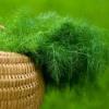 Як правильно садити кріп у відкритий грунт