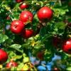 Як правильно доглядати за яблунями