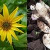 Як правильно вирощувати топінамбур, щоб отримати багатий врожай?