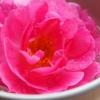 Як приготувати рожеву воду і як її використовувати