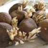 Як пророщувати картоплю і що з цим робити?