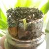Як проростити насіння на підвіконні в рулеті