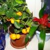 Як ростуть ананаси?