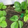 Як садити полуницю вусами - поради для початківців