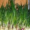 Як зробити гідропоніки для вирощування цибулі на перо?