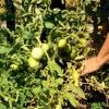 Як зробити так, щоб зелені помідори швидко встигли?