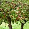 Як зберегти яблука на зиму до весни: 10 порад з власного досвіду!