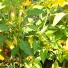 Як зберегти врожай гіркого перцю?