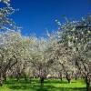 Як уберегти сад від шкідників?