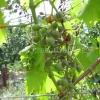 Як вберегти врожай винограду від хвороб?