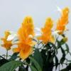Як доглядати за квіткою пахистахис