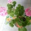 Чому у мене не цвітуть герані, а тільки листя ростуть, лопушатся і зеленіють пишною зеленню?