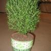 Терміново потрібен розмарин. Якщо посіяти насінням, в квартирі скільки проживе?