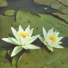 Як прикрасити водойма на садовій ділянці декоративними рослинами та квітами