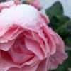 Як укрити троянди на зиму