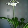 Питання: відцвіли еухарис (амазонська лілія), квітки зів`яли, залишилися такі насіннєві коробочки