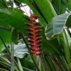 Як виглядає рослина гегіконія і чим воно відрізняється ок канни? У канн корінь-цибулина?