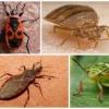 Як виглядають на фото клопи різних видів? Опис їх особливостей, місць проживання, чи становлять небезпеку для людини