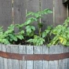 Як вирощувати картоплю в бочці