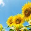 Як вирощувати соняшники?