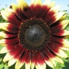 Як виростити декоративний соняшник з насіння?