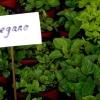 Як виростити материнку з насіння в домашніх умовах