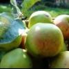 Сорти яблунь, рекомендовані для вирощування в північно-західному регіоні