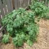 Як виростити картоплю «під шубою»