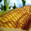 Як виростити кукурудзу?